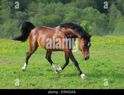 Holstein breed horse trotting in the field - Stock Photo