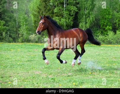 Holstein breed horse galloping in the field - Stock Photo