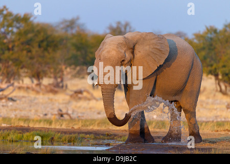 African Bush Elephant, African Savanna Elephant, Afrikanischer Elefant, Loxodonta africana - Stock Photo