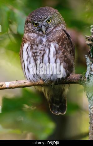 Eurasian Pygmy Owl, Glaucidium passerinum, Kauz, Sperlingskauz - Stock Photo