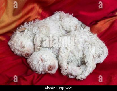 Lagotto Romagnolo puppies - Stock Photo