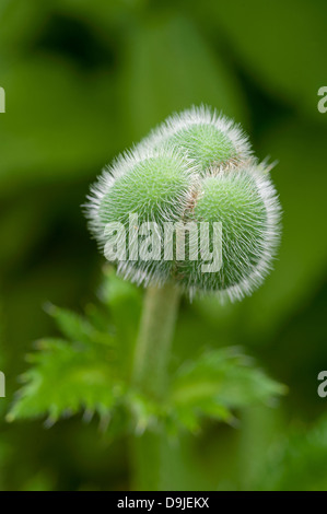 Red Poppy Flower Bud.  SCO 9144 - Stock Photo