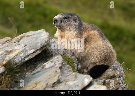 Murmeltier, Alpine Marmot, Marmota marmota - Stock Photo