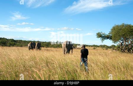 Elephant handler herding elephants to their bomas (stables) for the night.  Antelope Park, Zimbabwe. - Stock Photo