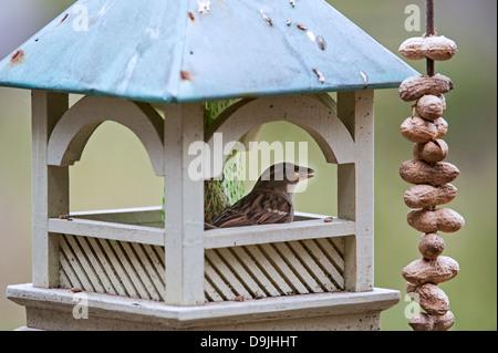 Female House Sparrow (Passer domesticus) feeding on seed inside garden bird feeder - Stock Photo