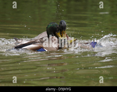 Two male mallard ducks, Anas platyrhynchos trying to mate with a female, UK 2013 - Stock Photo