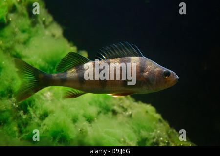 European perch / redfin perch / English perch (Perca fluviatilis) fish swimming underwater in lake - Stock Photo