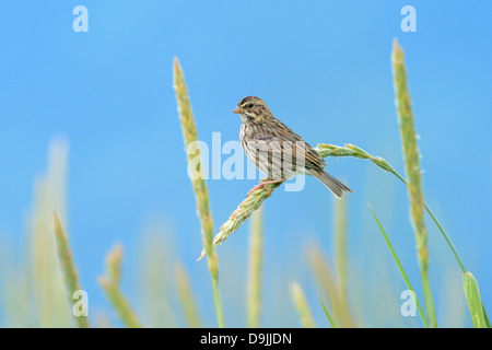 Juvenile Common Redpoll (Carduelis flammae) perched in grass, Katmai national park, Alaska USA. - Stock Photo