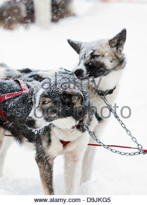 Alaskan huskies in harnesses wait in the snow to pull sled in Kirkenss, Finnmark region, northern Norway - Stock Photo