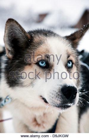 An Alaskan husky in the countryside near Karasjok, Finnmark region, northern Norway - Stock Photo
