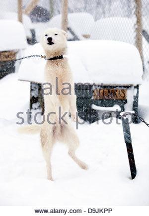 An Alaskan husky tied at its pen in Kirkeness, Finnmark region, northern Norway - Stock Photo