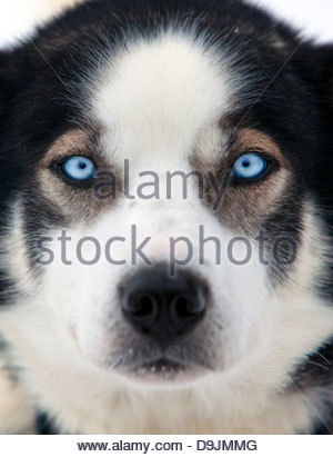 The clear blue eyes of an Alaskan Husky, Karasjok, Finnmark region, northern Norway - Stock Photo