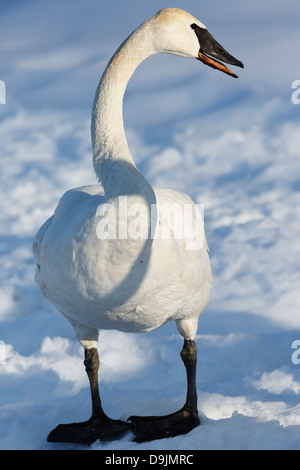 Trumpeter Swan (Cygnus buccinator) in winter - Minnesota, USA. - Stock Photo