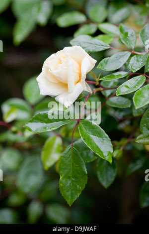 Close up of a pretty rose bud taken after rainfall - Stock Photo