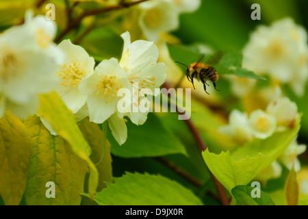 bumble bee in flight  to jasmin flowers - Stock Photo