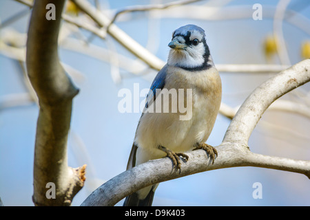 blue jay cyanocitta cristata - Stock Photo
