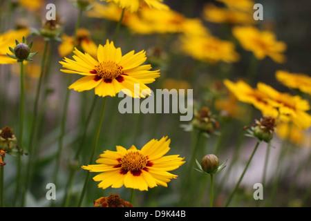 yellow flowers in garden, green stems plants - Stock Photo
