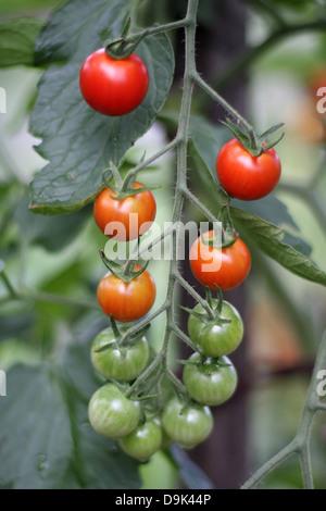 fresh farm cherry tomatoes ripened unripened ripe red green vine stalk fruit vegetable