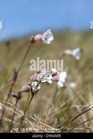 Bladder Campion growing on the salt marsh at Holme-next-the-Sea on the Norfolk coast. - Stock Photo
