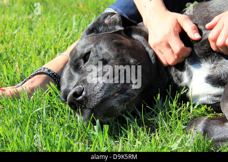 Beautiful Bull Mastiff dog breed lying on grassy lawn with woman's hands massaging and scratching his black and - Stock Photo
