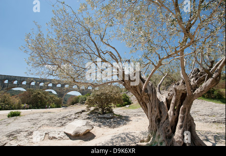 Old olive tree on the grounds of UNESCO World Heritage Pont du Gard in southern France - Stock Photo
