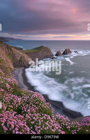 Thrift flowering on the cliff tops above Hartland Quay at sunset, North Devon, England. Spring (June) 2013. - Stock Photo