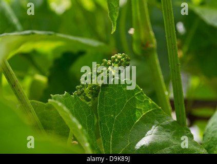 A cluster of immature green grapes growing on the vines in the Spring. - Stock Photo