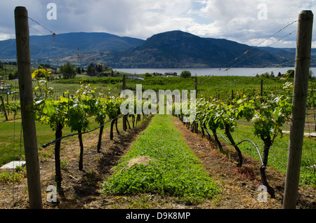 Rows of grapevines in a vineyard lead down the hill to Okanagan Lake and surrounding mountains. In Nararamata, B.C., - Stock Photo