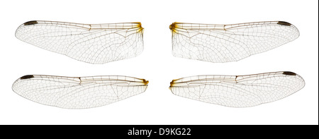 Dragonfly wings isolated on white - Stock Photo