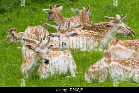Creche of Fallow deer stags ( Dama dama ) quietly regrowing antlers in midsummer - Ashton Court Bristol - Stock Photo