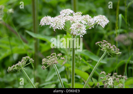 Hogweed heracleum sphondylium is a robust umbelliferous flower here growing beside the Cromford Canal in Derbyshire - Stock Photo
