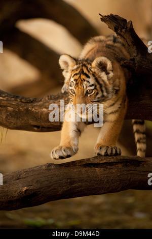 Climbing tiger cub - Stock Photo