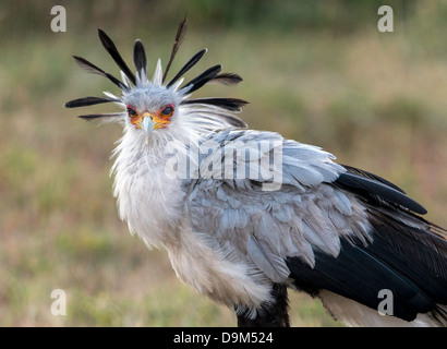 Secretarybird or Secretary Bird (Sagittarius serpentarius) Kicheche Masai Mara Africa - Stock Photo
