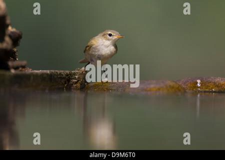 Common chiffchaff Phylloscopus collybita, adult, at woodland pool, Pusztaszer, Hungary in June. - Stock Photo