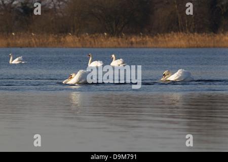 Mute Swan Cygnus olor, adults, territorial dispute, Blakeway, Somerset, UK in January. - Stock Photo