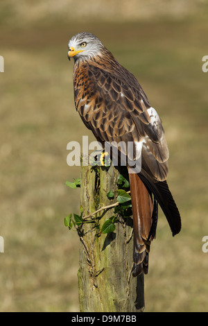 Red Kite Milvus milvus (captive), adult male, perched on ivy-covered post, Hawk Conservancy Trust, Hampshire, UK - Stock Photo
