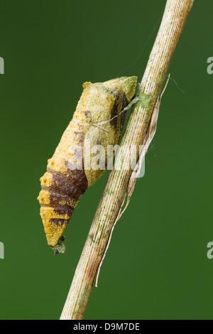 Swallowtail Papilio machaon, parasitised chrysalis on Milk Parsley stem, Wheatfen, Norfolk, UK in June. - Stock Photo