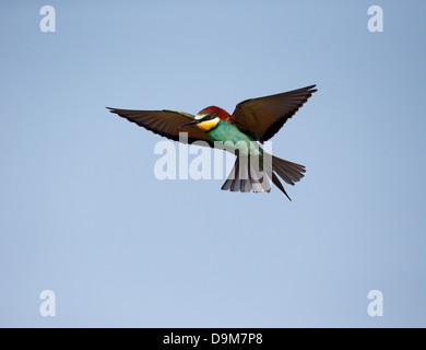 European bee-eater, Merops apiaster, single bird in flight, Bulgaria, May 2013