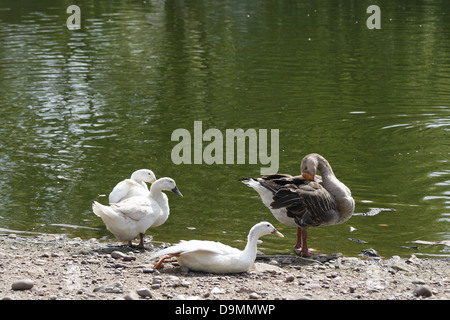 white ducks and Grey lag goose Anas platyrhynchos domesticus Anser anser - Stock Photo