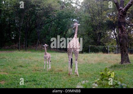 James Marjani a young Baringo (aka Rothschild's) giraffe calf and his Mom born at the Carter Giraffe Building at - Stock Photo