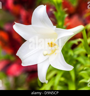 A beautiful Easter lily growing in a Bermuda garden. - Stock Photo