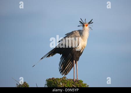 Secretary bird on a tree, Masai Mara, Kenya - Stock Photo
