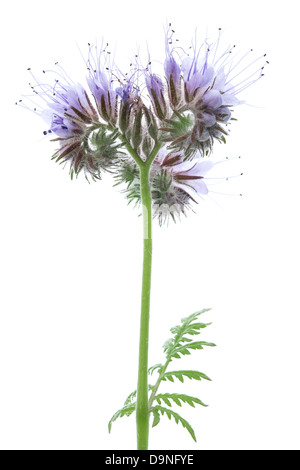 Close Up of Purple Flowers of a Phacelia Field Plant, Grown for Green Manure & Bees. - Stock Photo