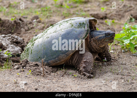 A common snapping turtle (Chelydra serpentina) laying eggs in sandy ground, Little Cataraqui Conservation Area, - Stock Photo