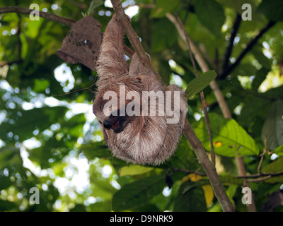 Young brown-throated sloth hanging from a branch in the jungle