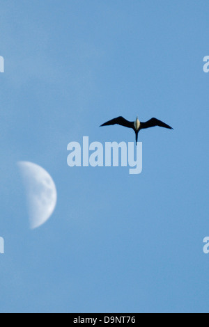 Magnificent Frigatebird (Fregata magnificens) flying past the moon in Costa Rica - Stock Photo