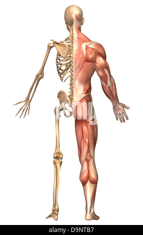 illustration of human skeleton back view stock photo, royalty free, Skeleton
