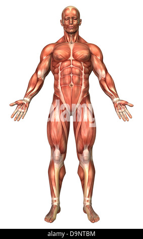 Anatomy of male muscular system, front view. - Stock Photo