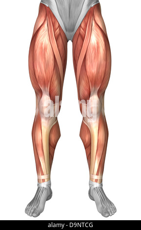Diagram illustrating muscle groups on front of human legs. - Stock Photo