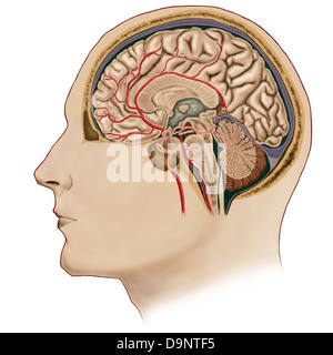 Cross section of brain with arteries. - Stock Photo